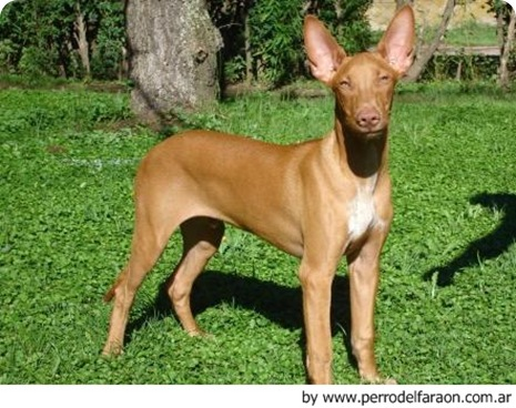 Perro del Faraon