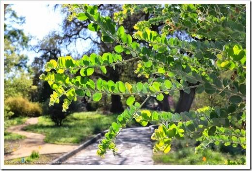 150307_UCDA_042_Acacia-podalyriifolia