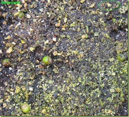 Ariocarpus furfuraceus Matehuala - SLP-2011-02-27_00002IMG_1234