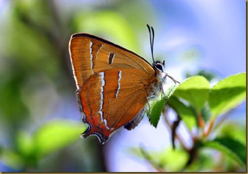 mariposa topacio