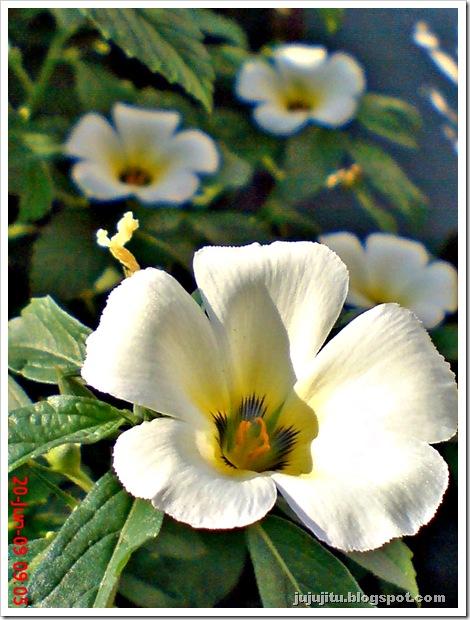 white alder Turnera subulata bunga pukul delapan 08