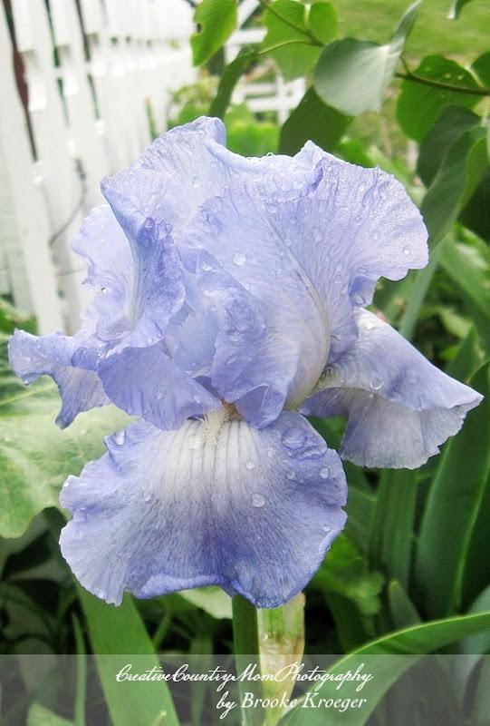 Joyful Skies Iris 2