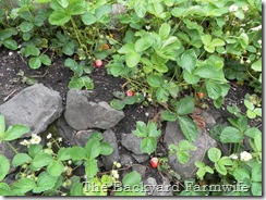 strawberries - The Backyard Farmwife