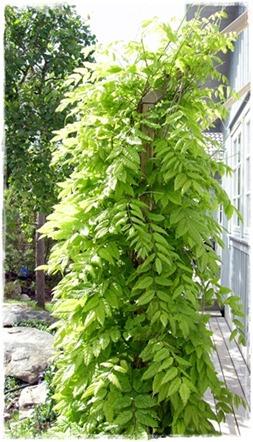 10 wisteria