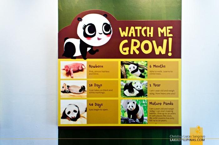 How a Panda Grow at Singapore's Giant Pandas