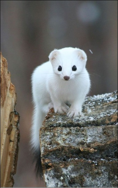 The white mongoose