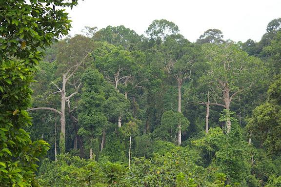 Diptérocarpes dans la forêt de Sepilok (Sabah). 10 août 2011. Photo : J.-M. Gayman