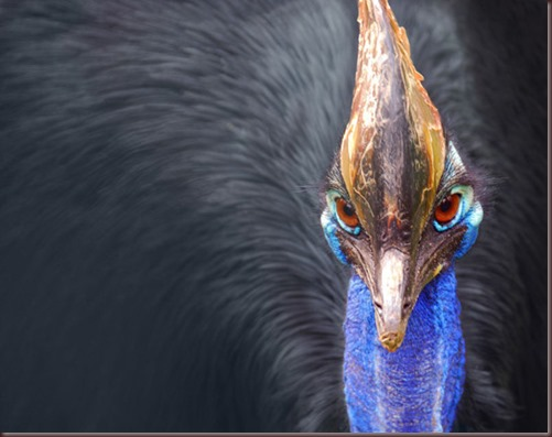 Amazing Animal Pictures The cassowary (4)