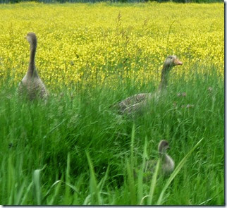 grey lags with goslings