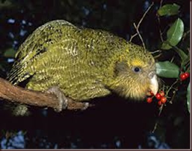 Amazing Pictures of Animals photo Nature exotic funny incredibel Zoo Kakapo birds Aves. Alex (8)