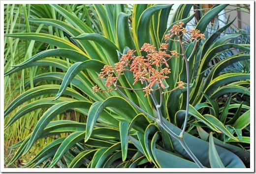130331_Agave-desmettiana-variegata- -Aloe-striata-flowers-stalk_07
