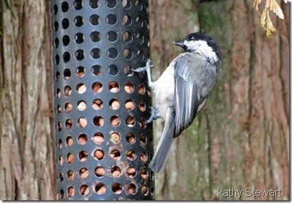 Black-capped chickadee on feeder