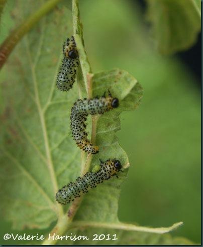 gooseberry-sawfly-larva