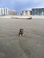 exploring the beach at Seaside on a very cold windy day.  Notice Abby's ears