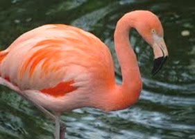 Amazing Pictures of Animals, Photo, Nature, Incredibel, Funny, Zoo, Flamingos or Flamingoes, Phoenicopteridae,  Aves, Bird, Alex (12)