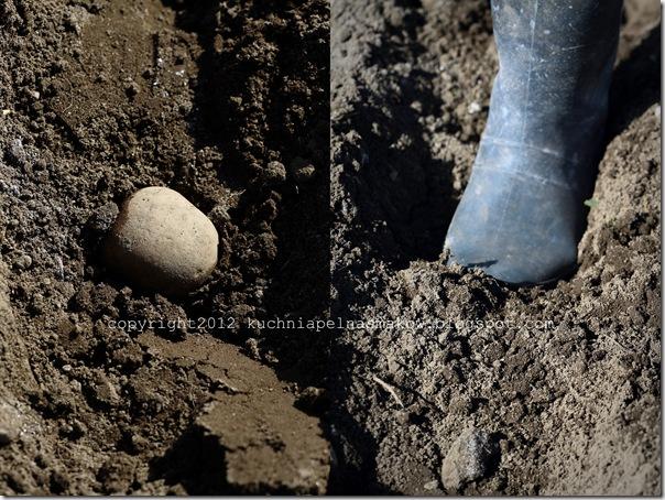 sadzenie ziemniaków7