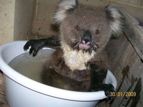 Малыш коалы в полном блаженстве