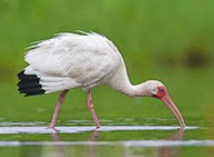 Oiled White Ibis