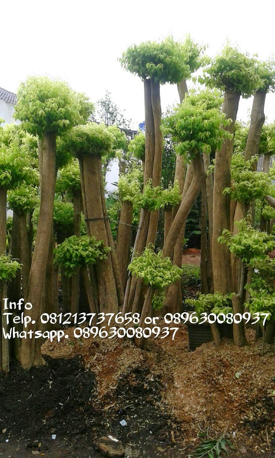 jual bonsai anting putri taman minimalis tukang taman