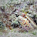 Res spotted blenny