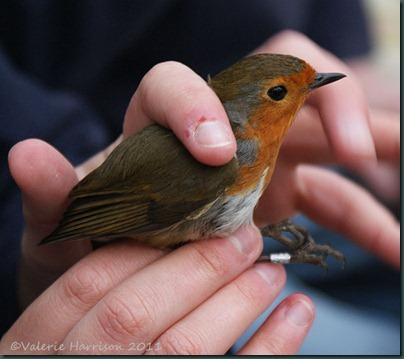 14-Robin