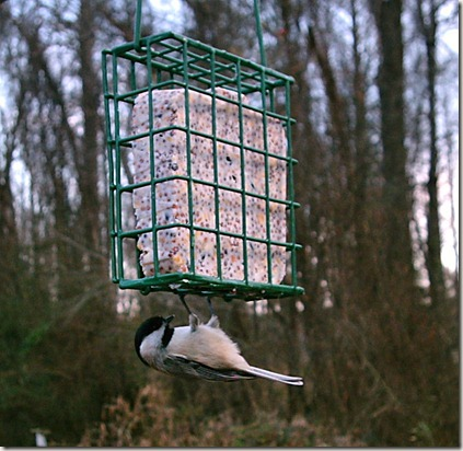 Carolina chickadee, Suet bird feeder