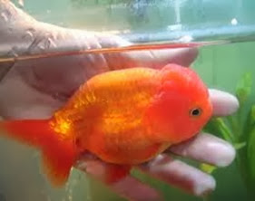Amazing Pictures of Animals, Photo, Nature, Incredibel, Funny, Zoo, Ranchu, Goldfish, Alex (8)