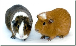 copy_guinea_pigs