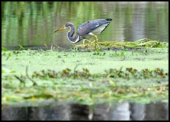 08 - Animals - Tricolored Heron 3