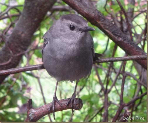 catbird_005
