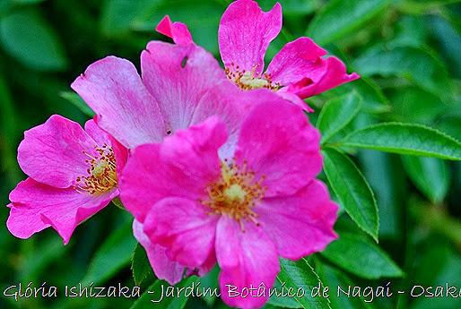 25 - Glória Ishizaka - Rosas do Jardim Botânico Nagai - Osaka