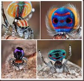 Amazing Pictures of Animals, photo, Nature ,exotic, funny, incredibel, Zoo, Maratus volans,  Peacock spider or Gliding spider, Alex (21)
