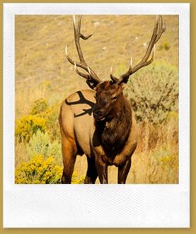 Elk (Wapiti) (Cervus canadensis