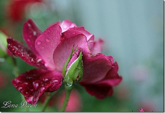 Burgundy_Iceberg2_Rain