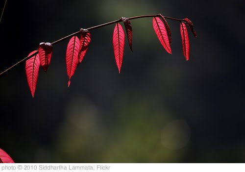 '20:365 - Red Leaves' photo (c) 2010, Siddhartha Lammata - license: http://creativecommons.org/licenses/by/2.0/