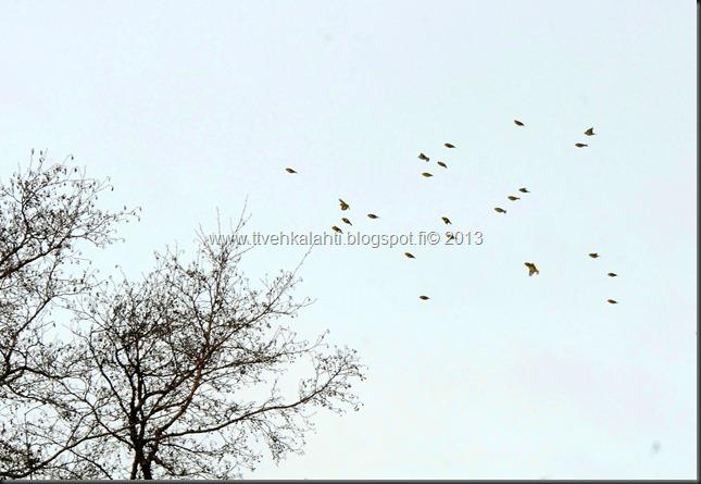 tilhe linnut kylpee keltasirkut 127