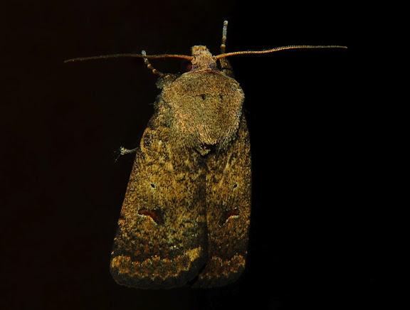 Noctuidae : Heliothinae : Helicoverpa punctigera WALLENGREN, 1860. Umina Beach (NSW, Australie), 13 octobre 2011. Photo : Barbara Kedzierski