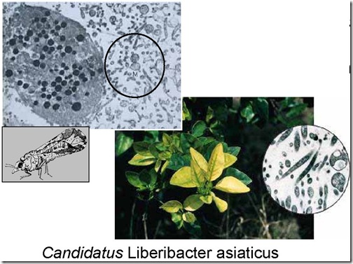 Candidatus-Liberibacter-asiaticus
