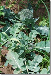 brócolos DSC_0535DSC_05406
