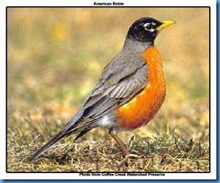 American Robin copy