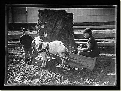 goat cart australian