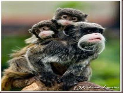 Amazing Animal Pictures Emperor Tamarin (5)