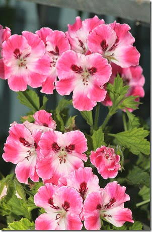 Pelargonium  Elegance Sunrise