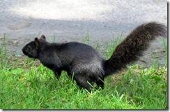 Black squirrel at Niagara