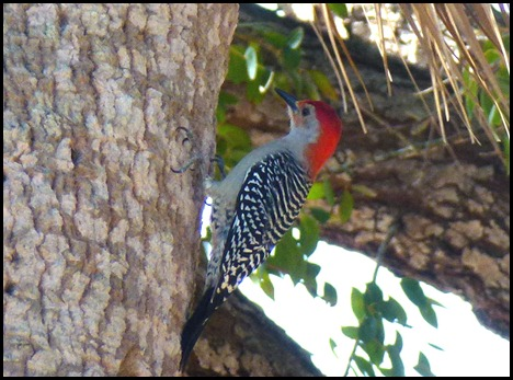 08h - Eco Pond - Red-Bellied Woodpecker