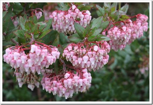 120211_UCSC_Arboretum_Arctostaphylos pajaroensis Brett's Beauty_02