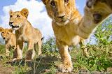 A playful lion cub takes a swipe at BeetleCam!