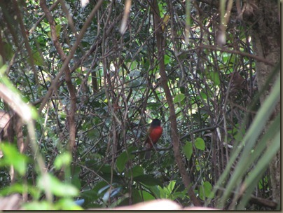 Painted Bunting at Corkscrew Swamp