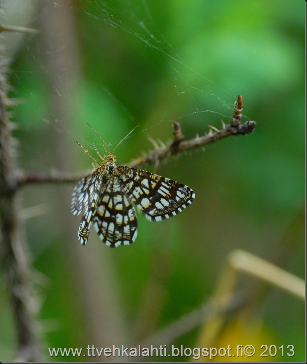 sunnuntain ötökkä kuvat outo perhonen toukka 017
