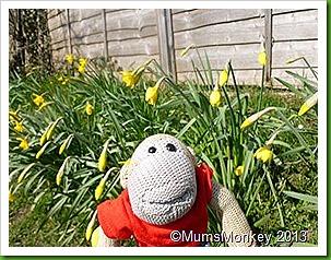 Bilbrook daffodils.